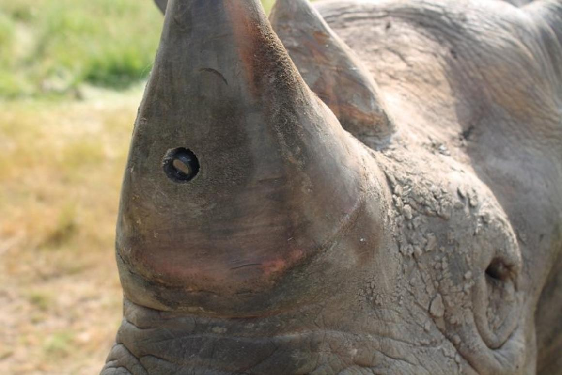 A rhino sporting one of the RAPID Cameras