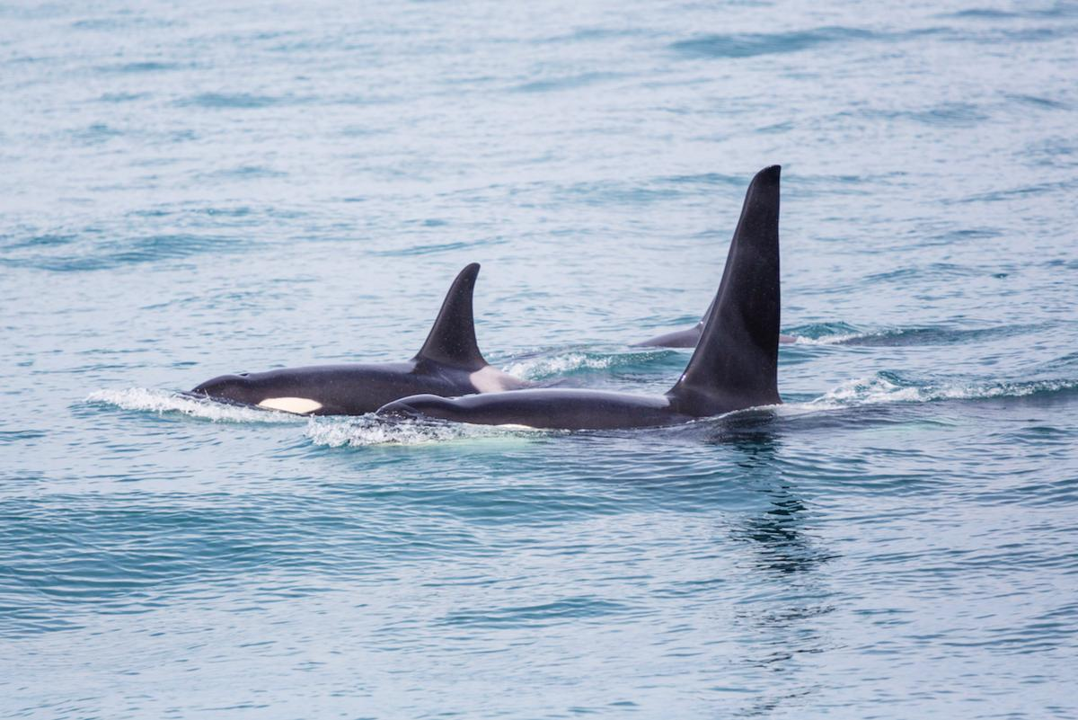 Orcas are one of the mammal species in which the difference between female and male lifespans is most apparent