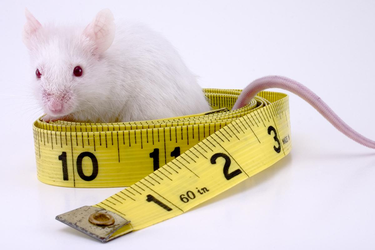 Injecting a tiny capsule into the abdomens of mice resulted in a reduction in abdominal fat of 20 percent (Photo: Shutterstock)