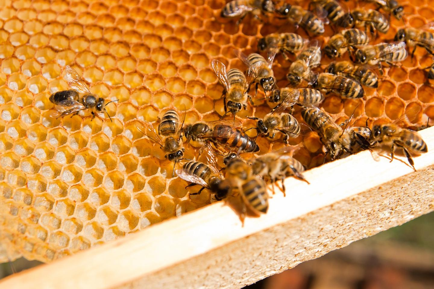 Research into the royal jelly secreted by bees as led scientists to a protein in humans that keeps stem cells in their embryonic state