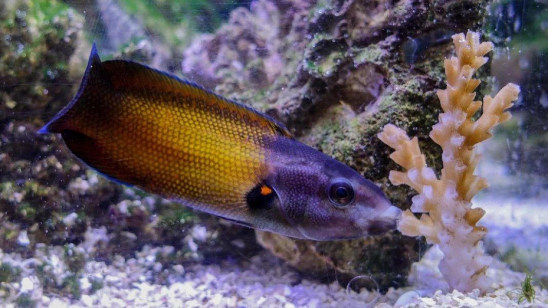 The tubelip feeding on coral