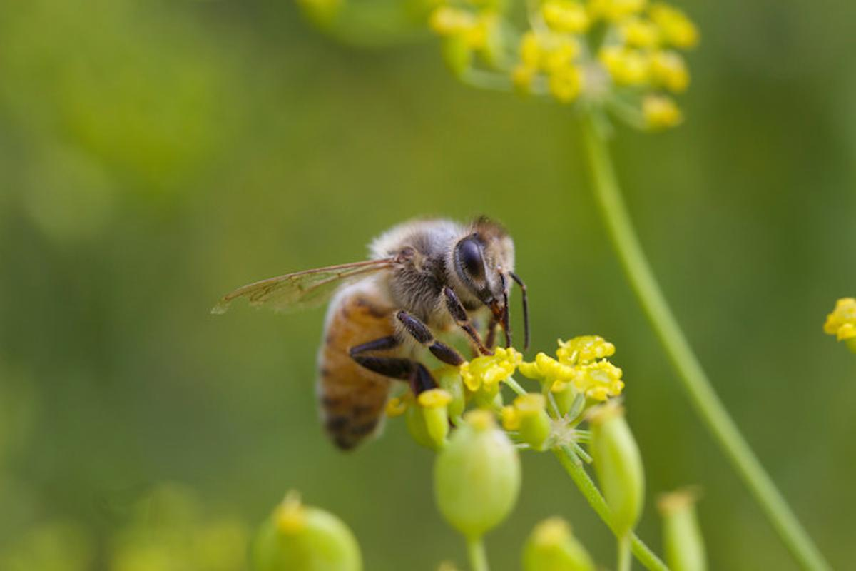With honeybee populations dwindling worldwide, researchers have identified an emerging strain of virus as more deadly to honeybees than the established type