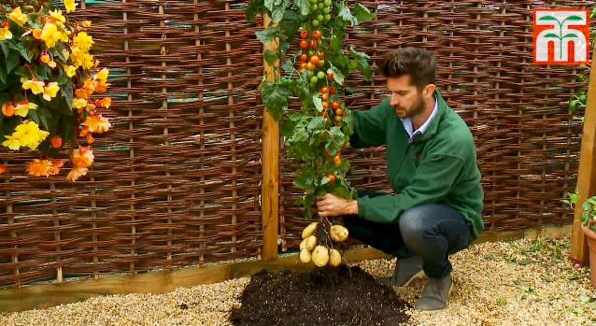 The TomTato consists of the top of a cherry tomato plant and the bottom of a white potato plant, that have been grafted together at the stem