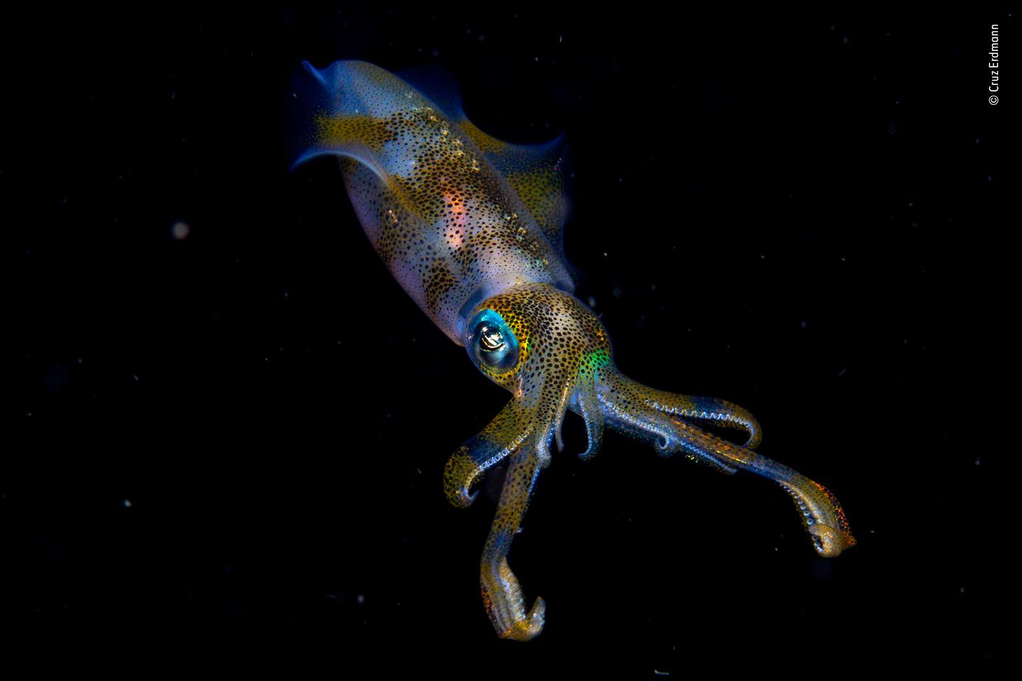 Winner Young Photographer of the Year. A glowing big fin reef squid