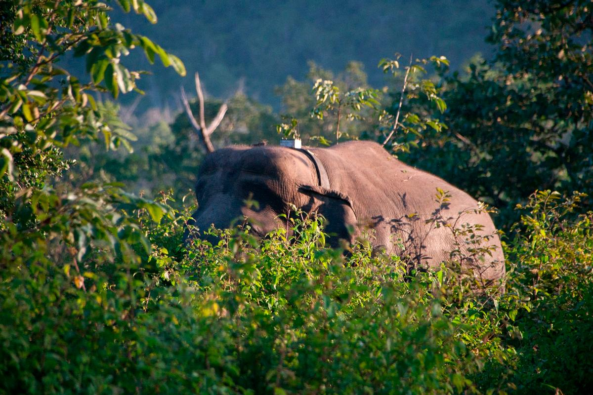 A radio-collared elephant in India