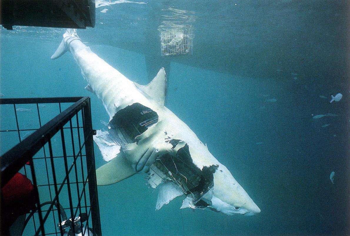 Alison the mechanical shark after being attacked by great whites