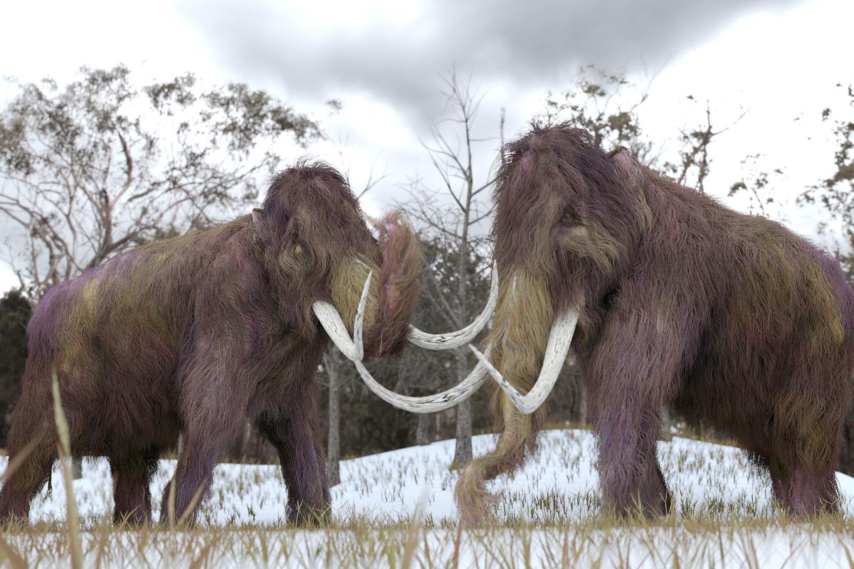 Researchers have resurrected woolly mammoth genes from the last surviving population and tested their viability