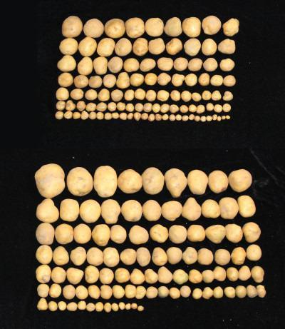 A comparison of the yields from an unmodified potato plant (top) to a modified plant (bottom)