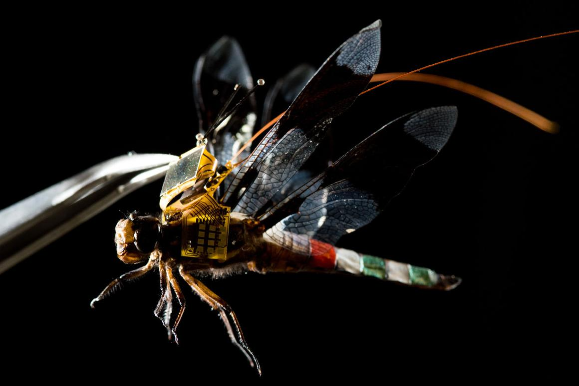 A cyborg dragonfly, named the DragonflEye, has taken flight for the first time in a video