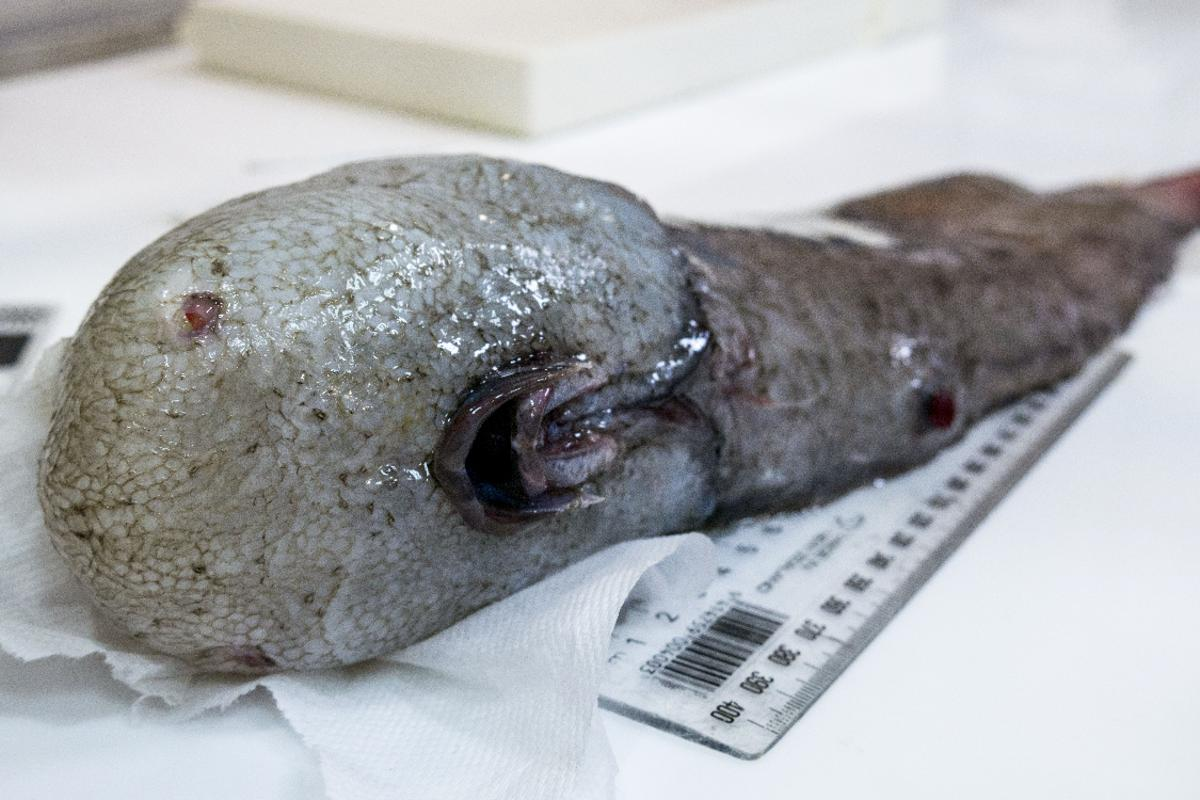 When this bizarre faceless fish was first pulled off the ocean floor the team thought they had discovered a new species