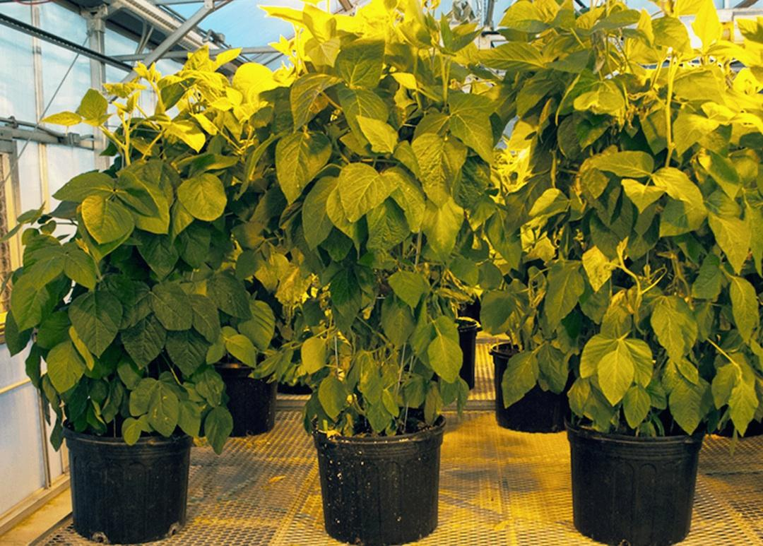 By increasing the soybean plant's natural nitrogen allocation process, researchers have been able to increase the crops' yield and reduce the need for artificial nitrogen fertilizers
