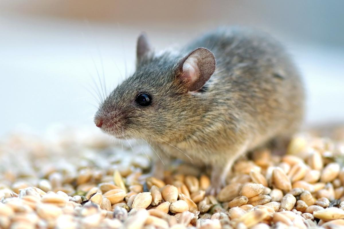 The lifespan of older mice was extended when a protein called eNAMPT was isolated from the blood of young mice
