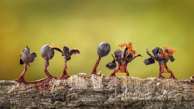 Slime Moulds on Parade by Barry Webb was the second place winner in the Plants & Fungi category of the 2020 Close-up Photographer of the Year. This line of fruiting bodies of slime mold almost resembles a line of little people.