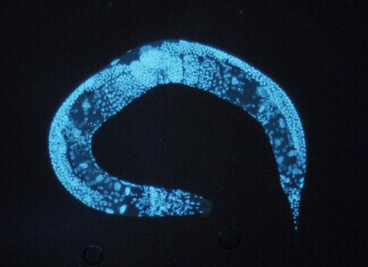 Caenorhabditis elegans in the flesh