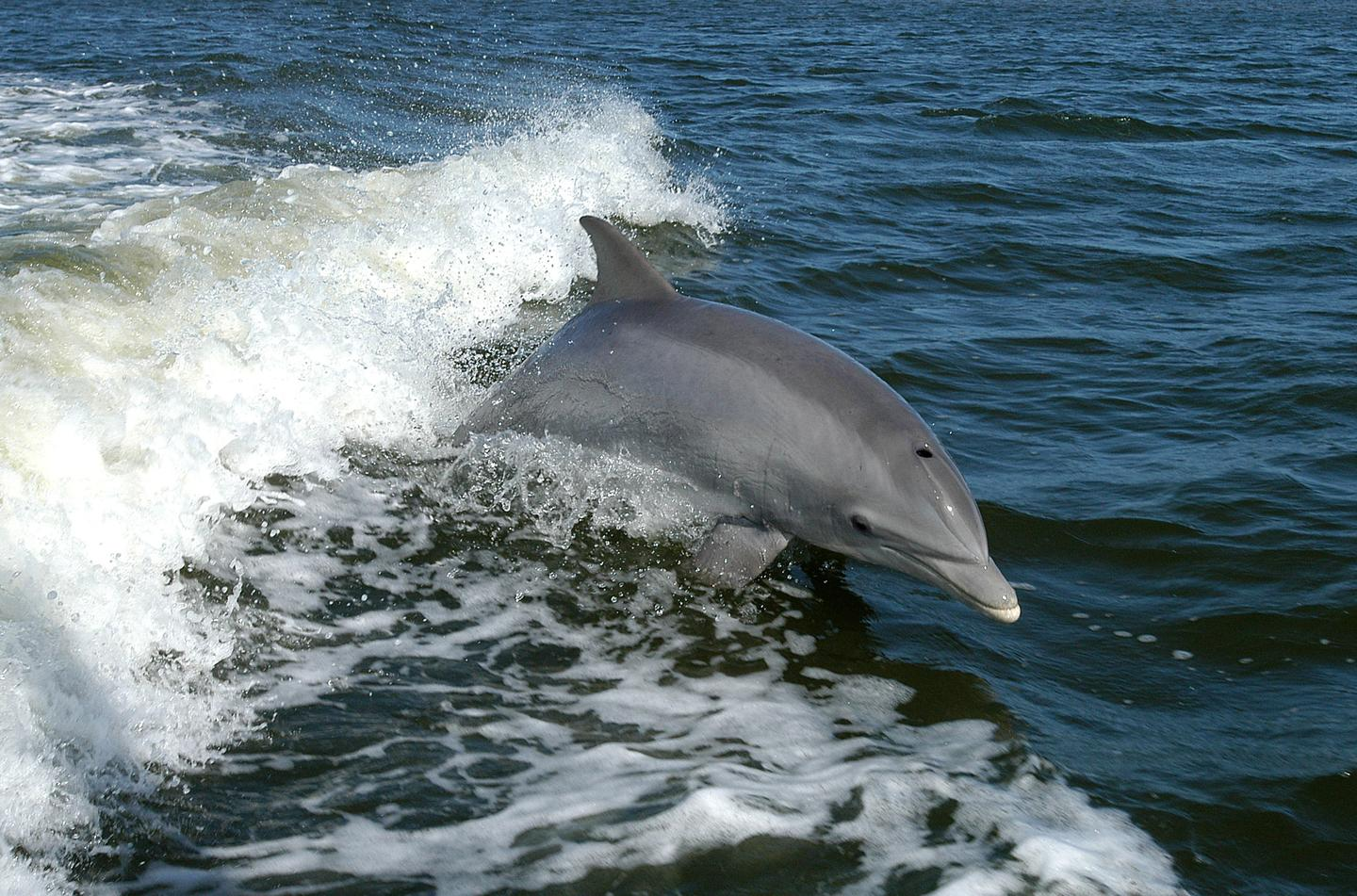 Dolphins were the inspiration for a new type of sonar called twin inverted pulse sonar (TWIPS)