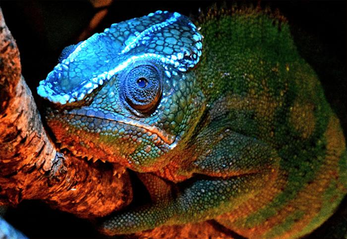 German scientists have discovered that chameleons fluoresce under UV light