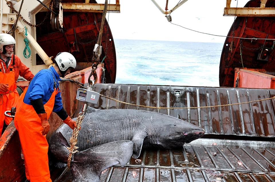 The team is now working to learn more about the mysterious Greenland shark