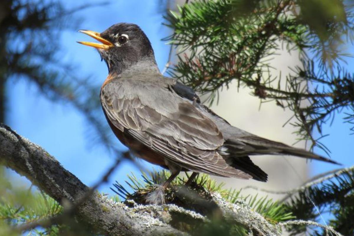 Each year, the American robin heads north towards Canada and Alaska for a little summer vacation, but it's getting earlier