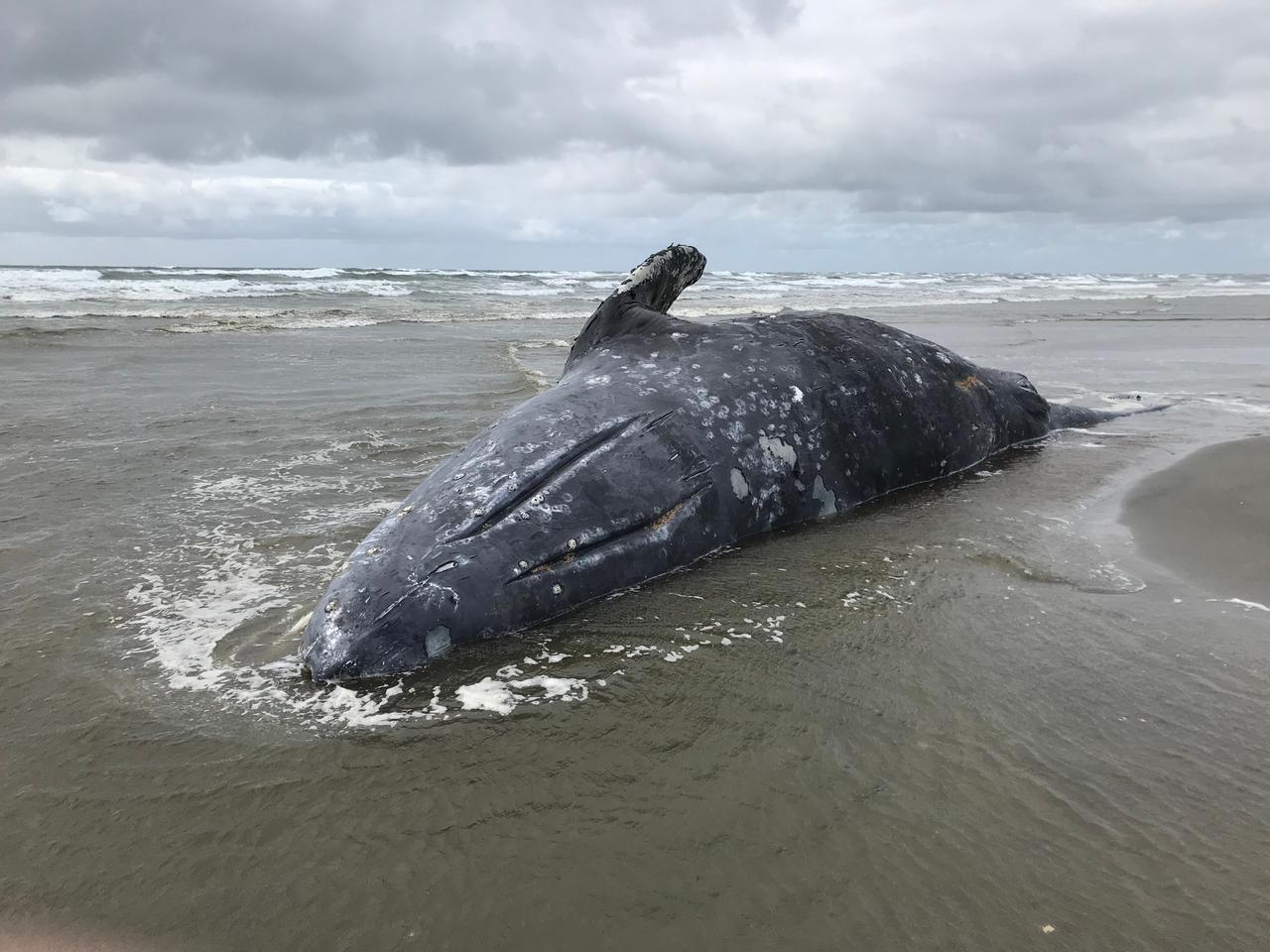 A stranded gray whale