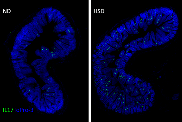 White blood cells that produce a protein called IL-17 (green) accumulate in large numbers in the small intestine of mice fed a high-salt diet for eight weeks (right), compared with mice fed a normal diet – this magnified image shows cells in a part of the intestinal layer that absorbs digested food and protects against infection