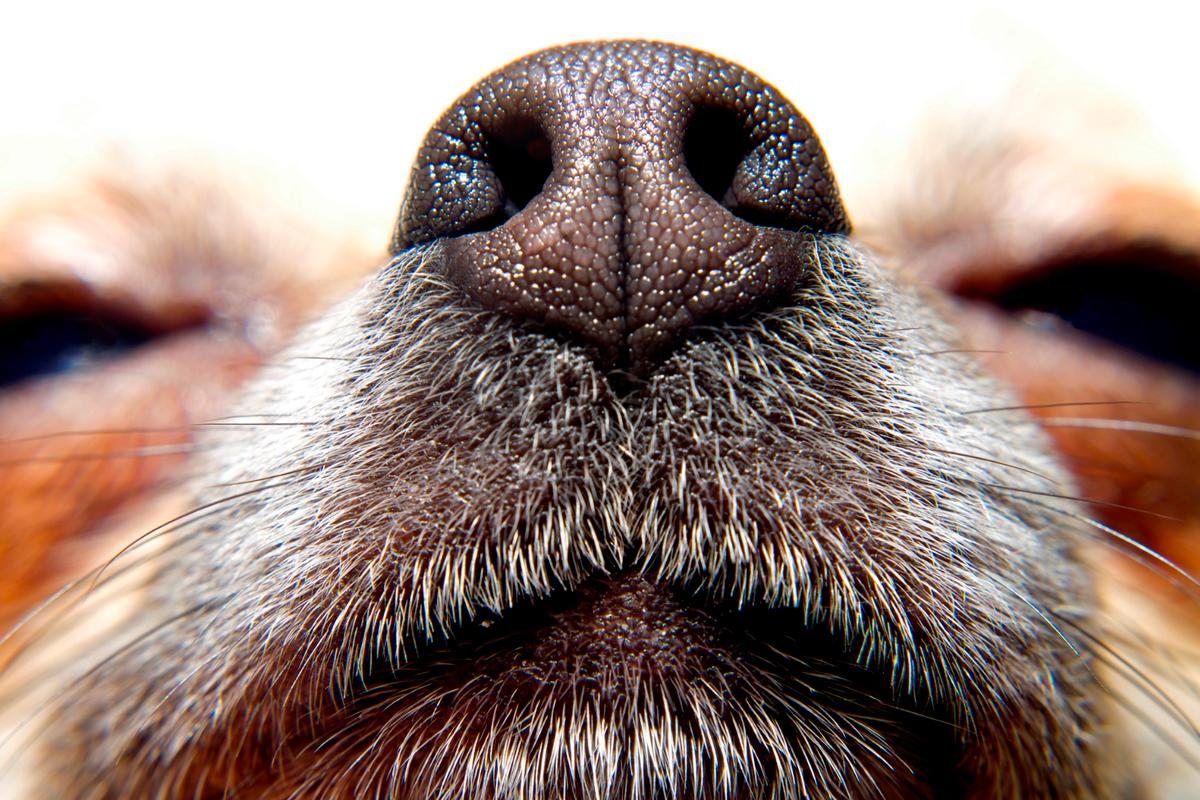 Dogs' noses are incredibly sensitive, but electronic devices could be more practical in hard-to-reach disaster zones