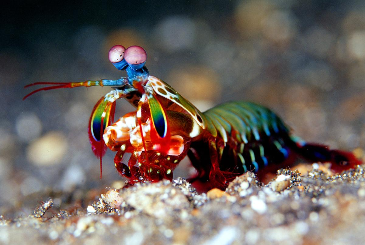 The study of this marine crustacean may lead to lighter and more resistant materials that could be used in military applications (Mantis Shrimp photo via Shutterstock)