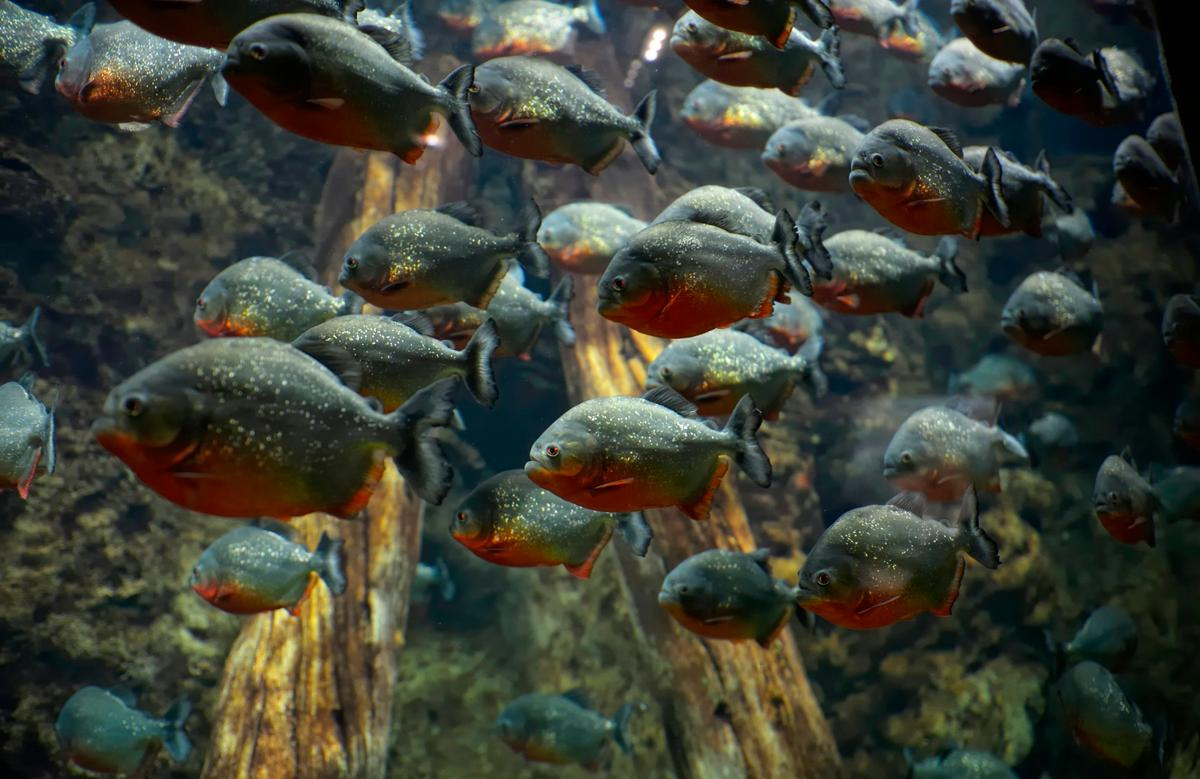 Different types of piranhas make different sounds – a factwhich could be used to detect what types of the fish are in which areas