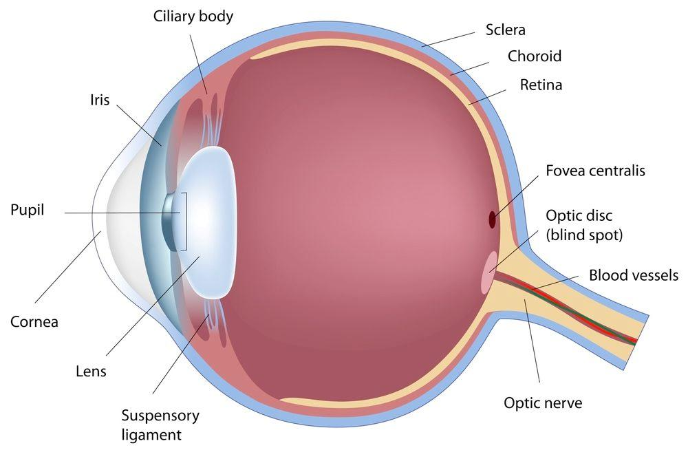 A diagram of the human eye, indicating the location of the sclera and choroid - labels at top right (Image via Shutterstock)