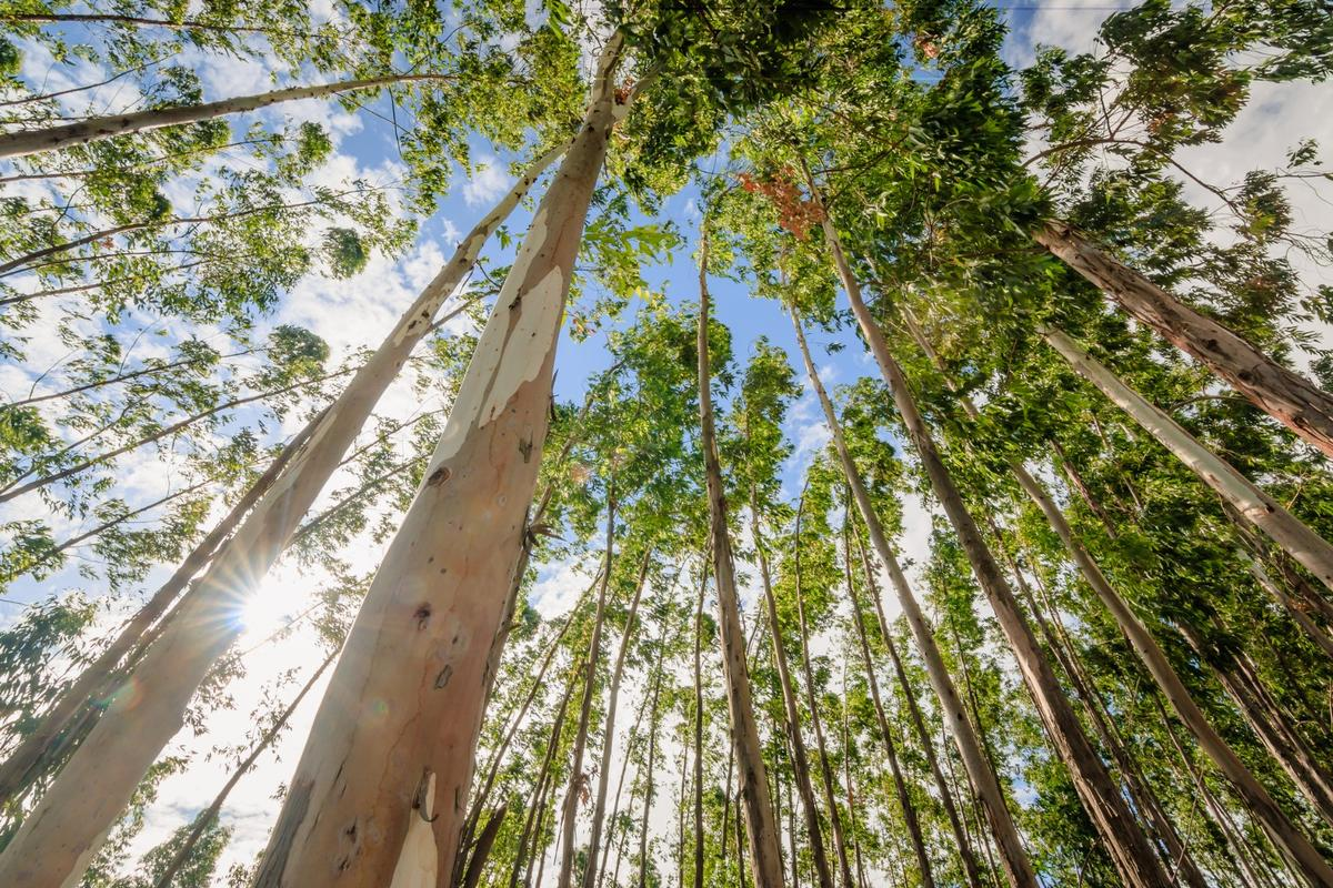 Australian scientists have used extracts from gum trees to produce graphene in a cheaper, safer way