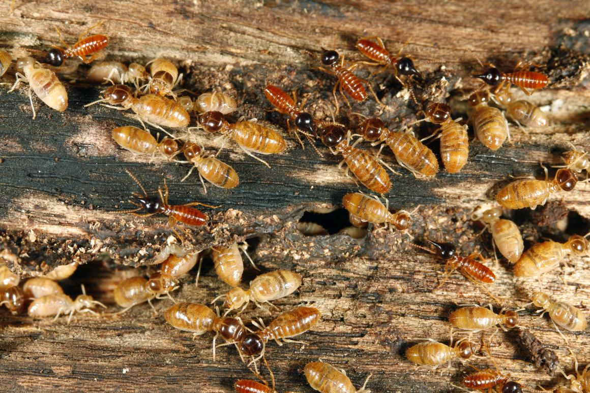 """WiSPr is a tiny wireless acoustic sensor designed to detect termites by """"hearing"""" them eat (Photo: Shutterstock)"""