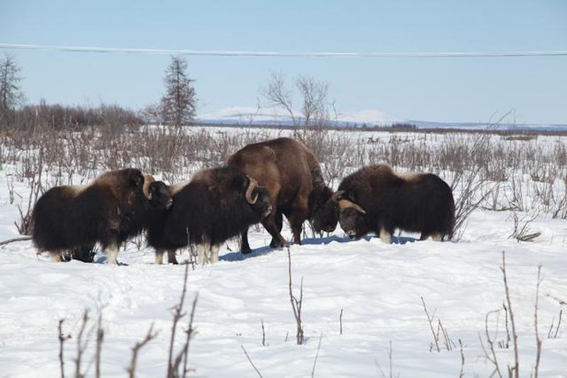 Pleistocene Park's organizers are currently seeking funding via Indiegogo to transport a new herd of bison from Alaska to Siberia