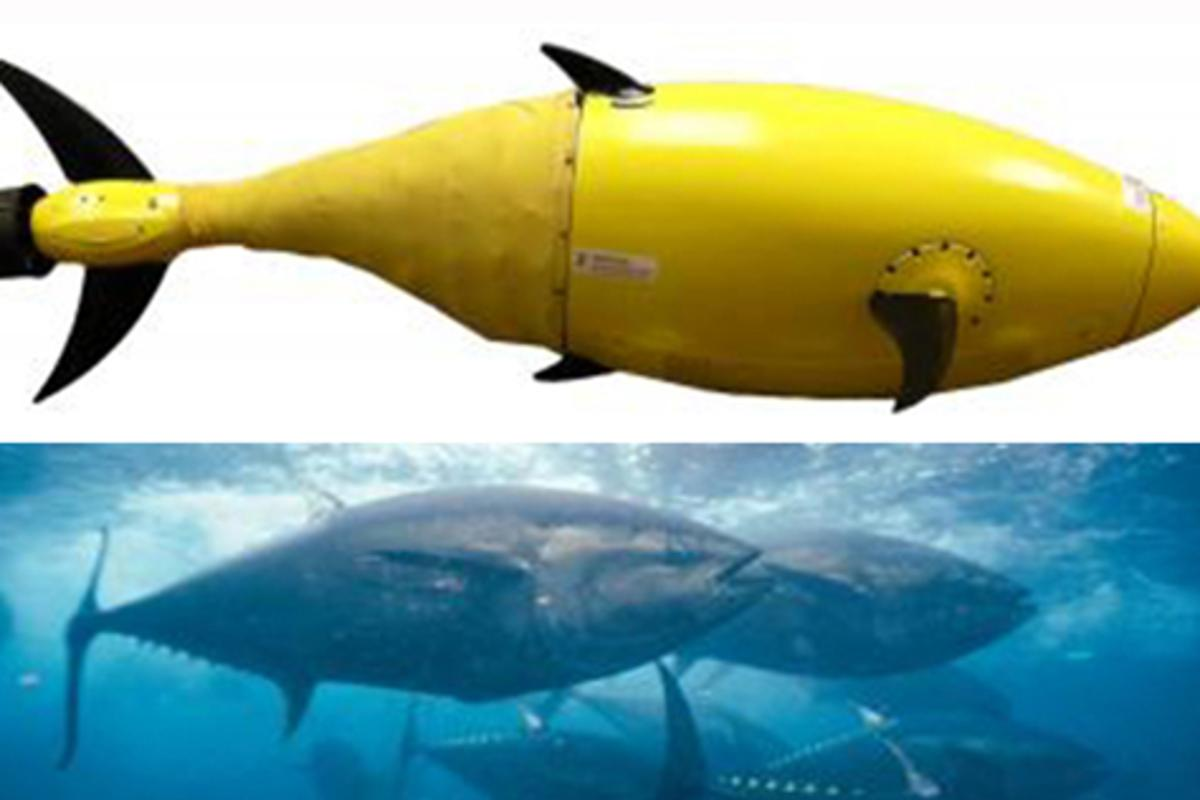 Scientists believe the tuna fish has a natural body framework that's tailor-made for UUV-like machines (Image: Jane Baker, DHS, S and T)