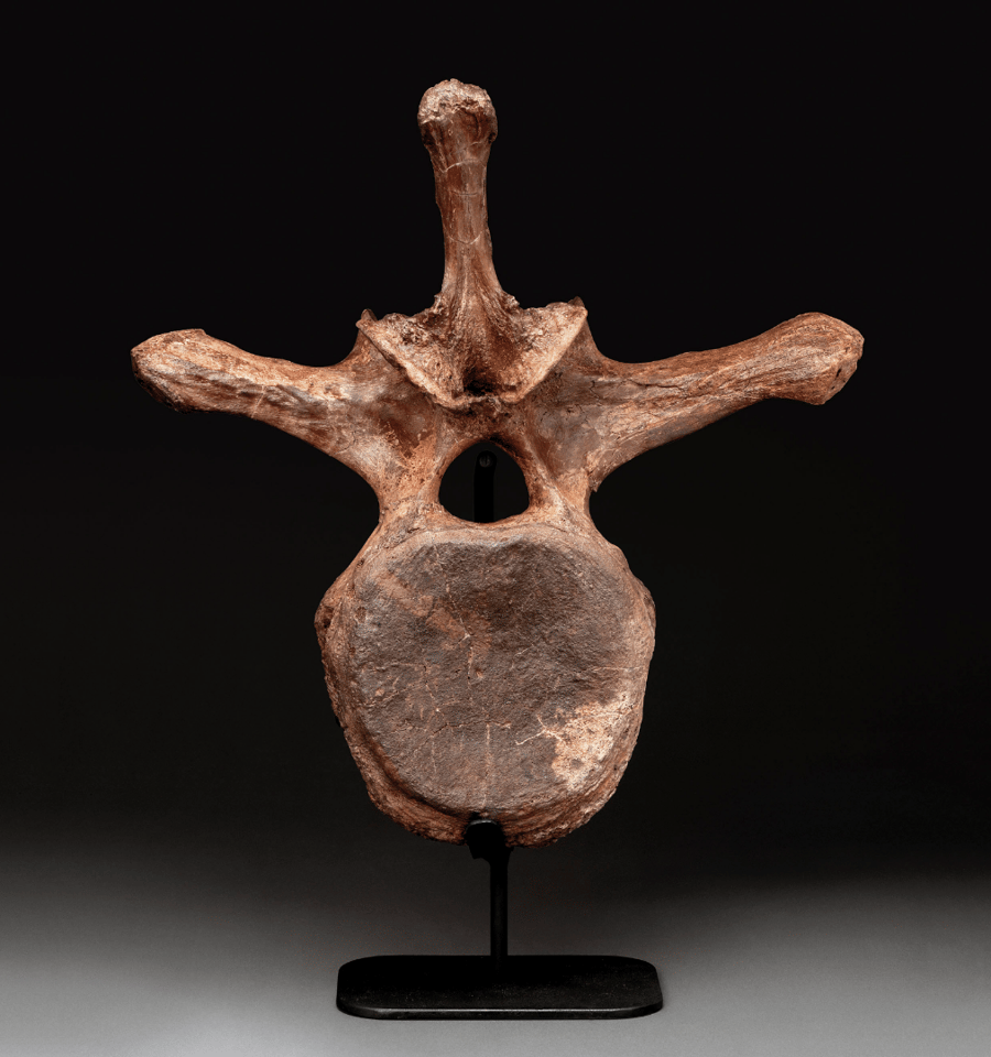 Triceratops Vertebra | Price: $7,142 (£5,625) | Auction Link | The massive three-horned Triceratops dinosaur lived in North America in the period from 68 million years ago until the Cretaceous–Paleogene extinction event 66 million years ago. This Triceratops vertebra was found in the Hell Creek Formation in Montana and is 19 ½ inches (49.5cm) tall.