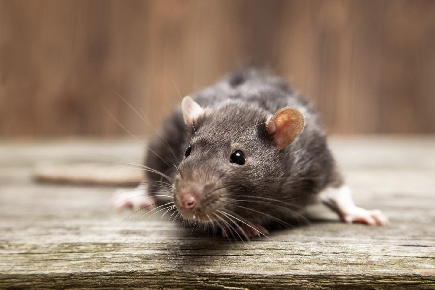 In an attempt to curb their exploding population, New York City is testing a new liquid bait, called ContraPest, which renders rats infertile