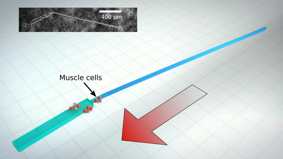 A diagram and a microscope image (inset) of one of the bio-bots