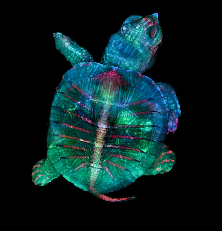1st Place winner. Fluorescent turtle embryo
