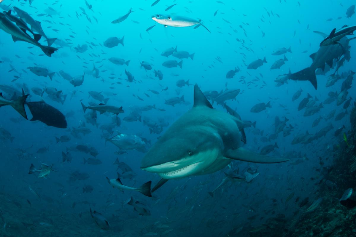 Bull sharks were among the species studied in new research demonstrating that sharks can take turns hunting to coexist in peace