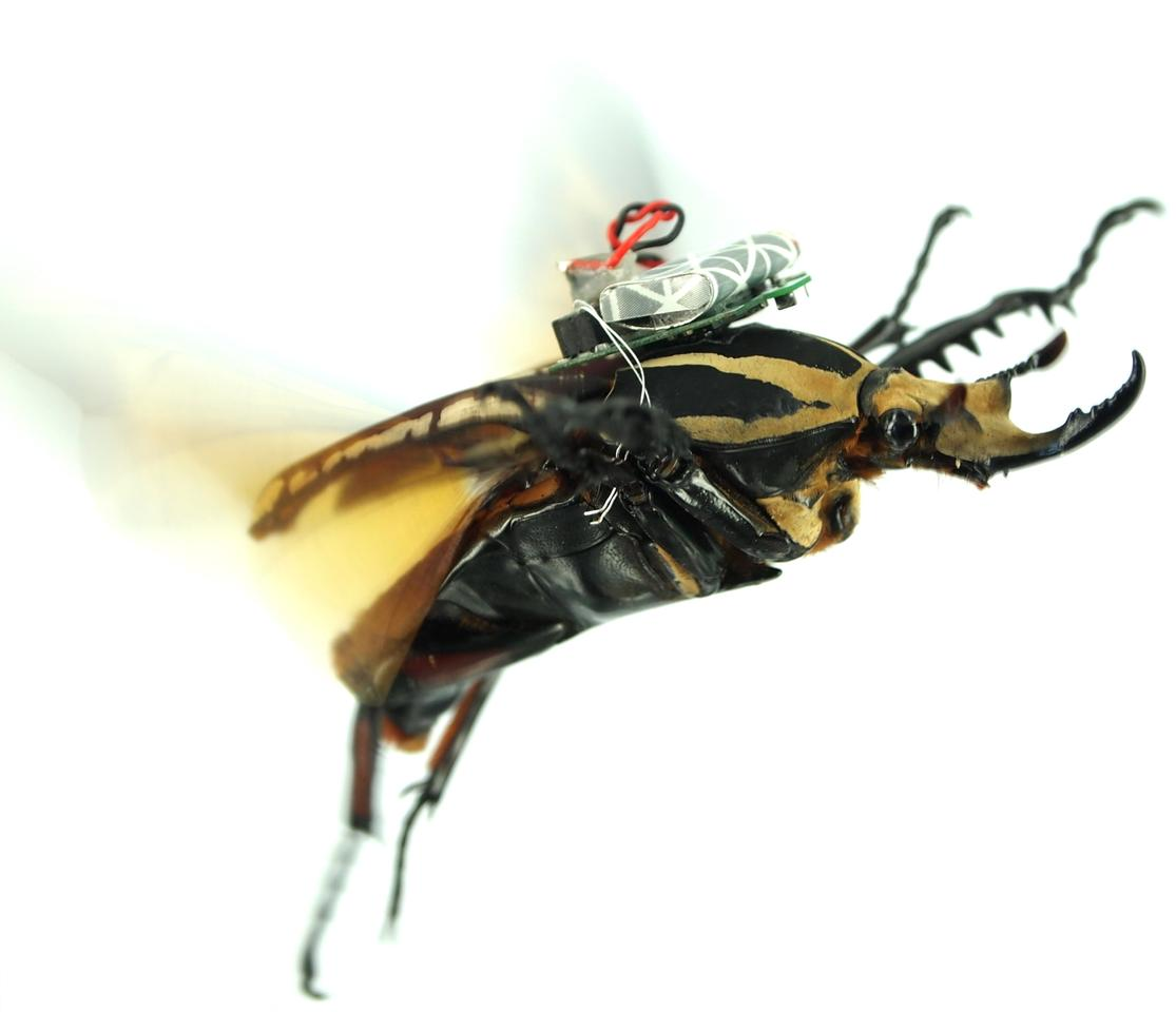 Scientists Fly Real Beetles By Radio Remote Control