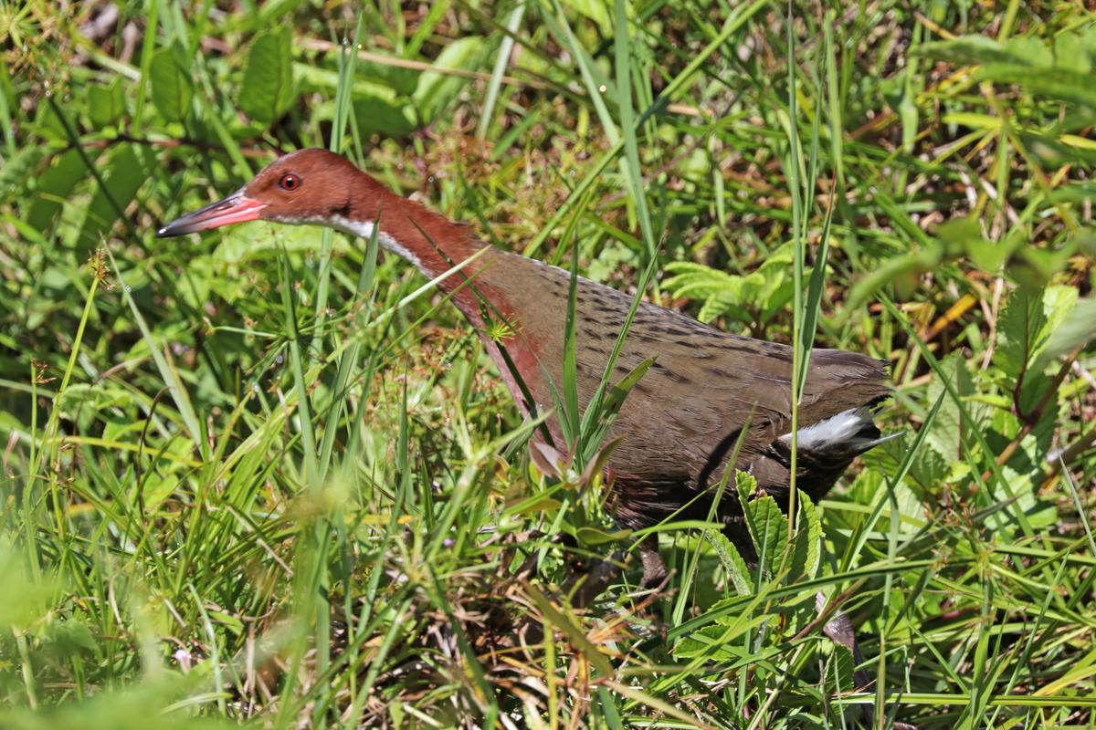 The white-throated rail twice colonized the island of Aldabra and twice evolved to become flightless