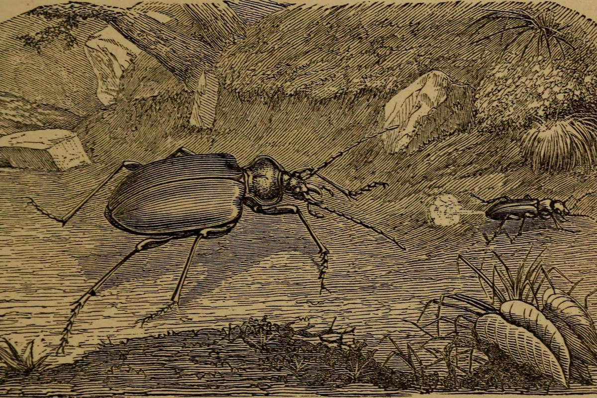 TheBombardier beetle discourages attackers by firing a noxious spray from its rear end