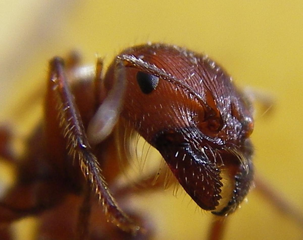 Close up of a red harvester ant (Photo: Sandstein)