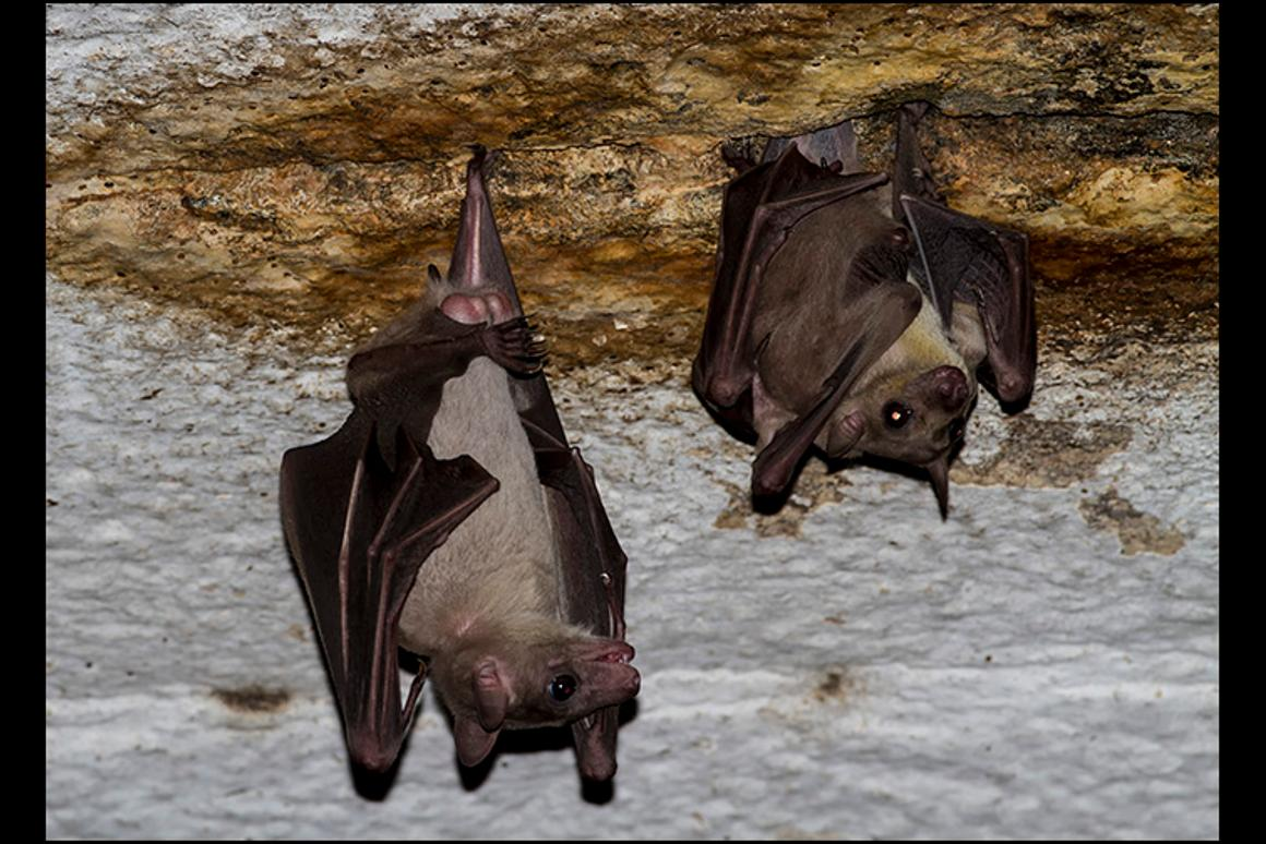 The virus was found in Rousettus bats in Měnglà County, Yunnan Province, southern China (Credit:Rajesh Puttaswamaiah, Bat Conservation India Trust CC BY 3.0)