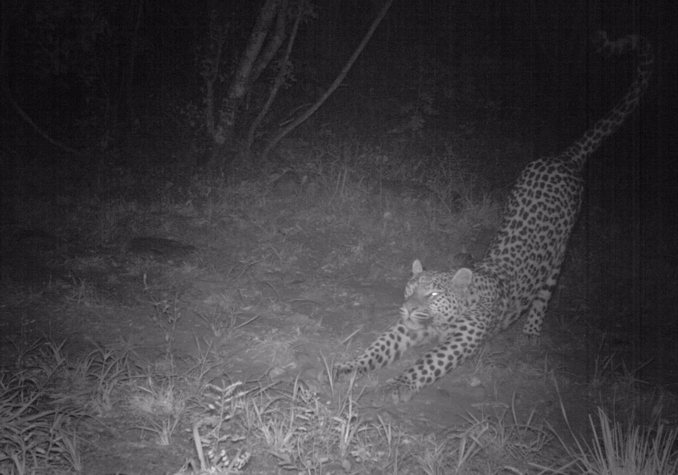 The researchers claim that a primary reason for the death of so many leopards is illegal hunting by humans