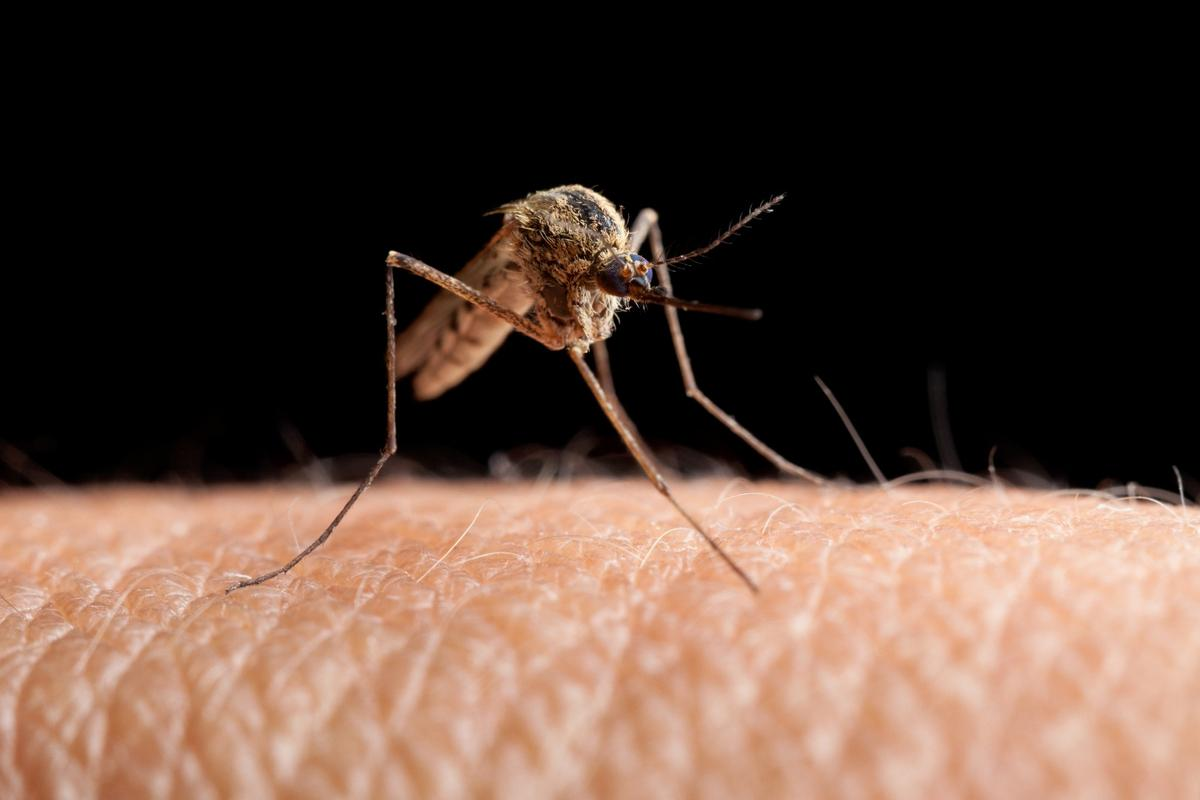 Researchers at Imperial College London have inserted a recessive gene into the malaria-carrying Anopheles gambiae mosquito to make them infertile
