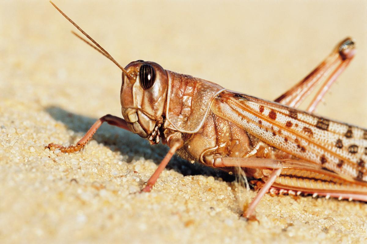 Researchers have connected a locust's ear to a robot
