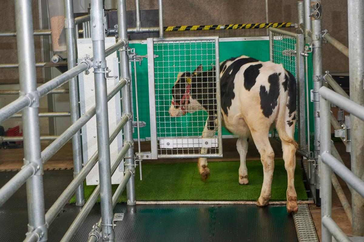 A calf enters the MooLoo, showing that cows can be toilet-trained