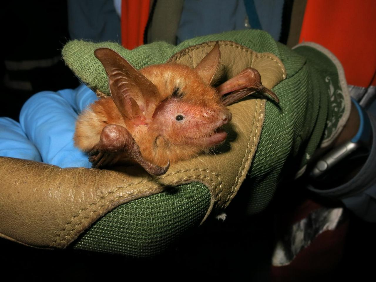 A photograph of the new bat species found in the Nimba Mountains