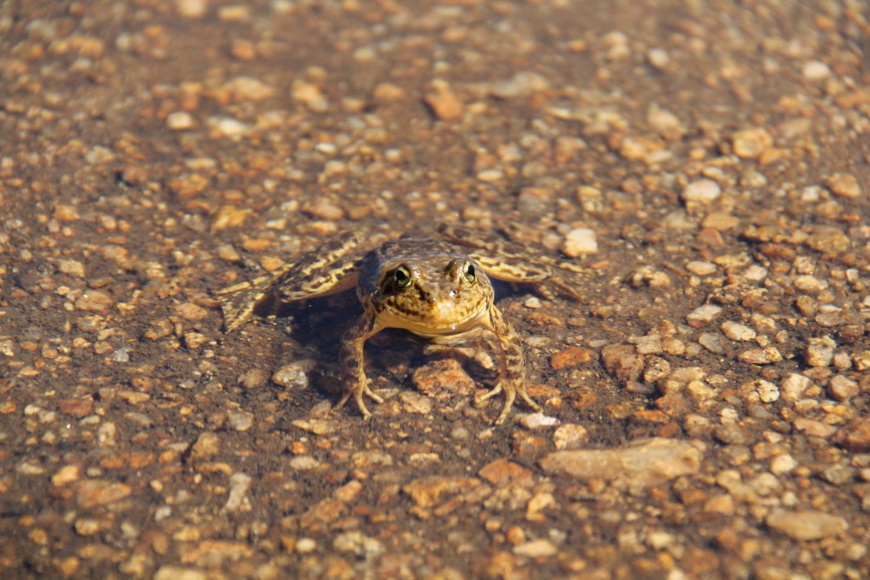 A mountain yellow-legged frog