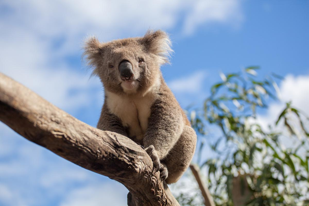 Koalas may be a little smarter than first thought after quickly learning to favor safer road crossings