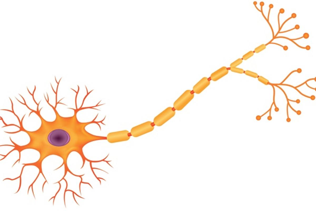 An illustration of a healthy neuron, with its sausage-link-like myelin sheath